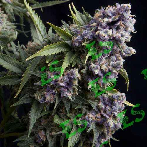Семена конопли Auto Purple Feminised фото