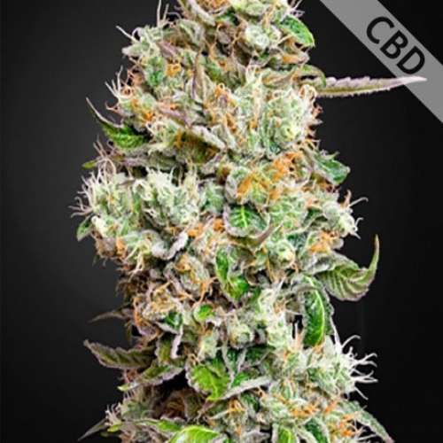 Семена конопли Auto King's Kush CBD Feminised фото
