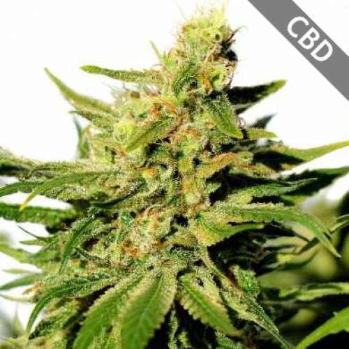 Семена конопли BCN Diesel CBD фото
