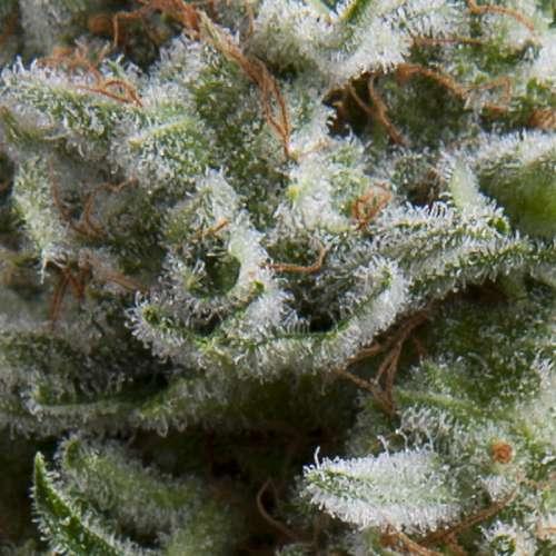 Семена конопли Auto Anubis фото