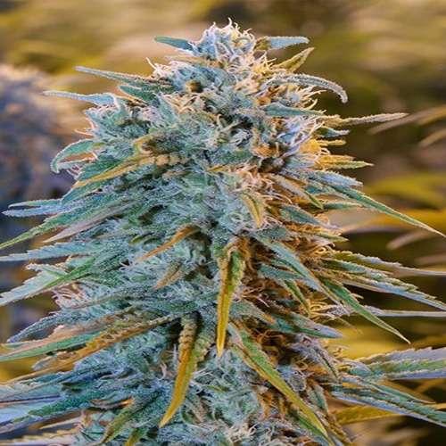 კანაფის თესლები Blue Dream ფოტო