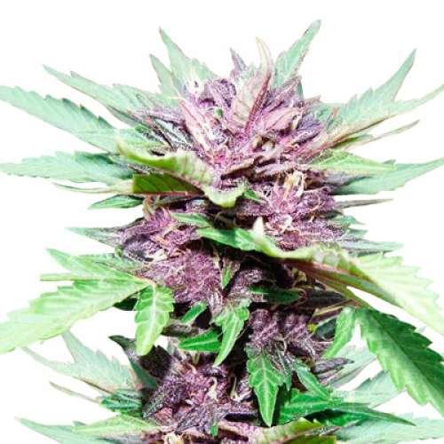 კანაფის თესლები Auto Dark Purple Feminised ფოტო