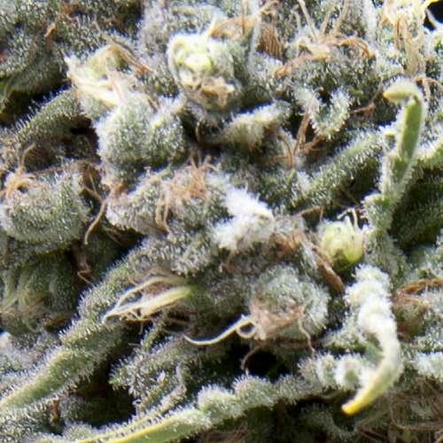 Семена конопли Auto CBD White Widow Feminised фото